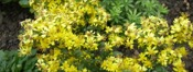 Solidago Virga Aurea picture
