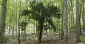 Taxus Baccata picture